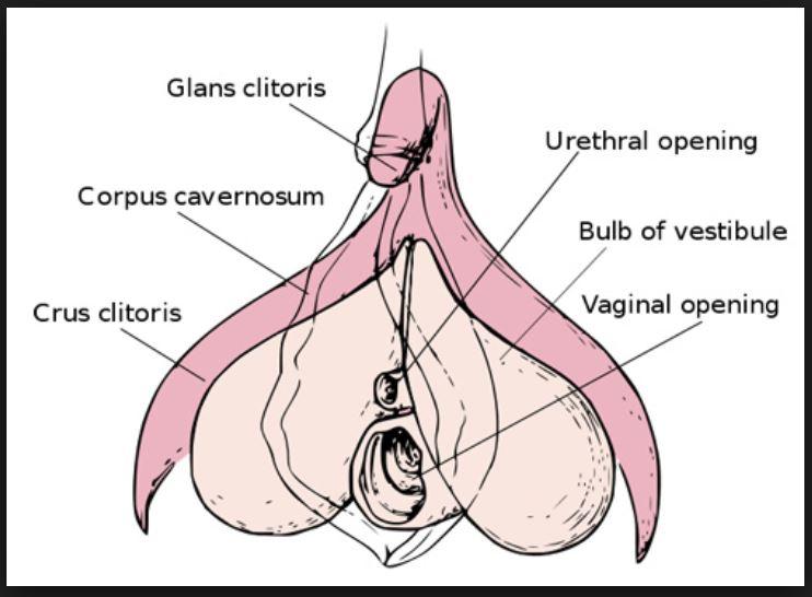 sub parts internal clitoris