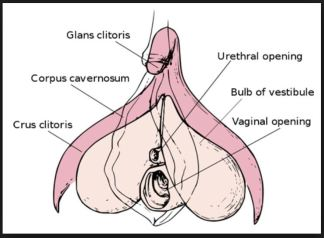 sub parts internal clitoris